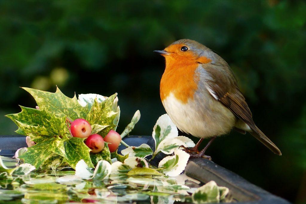 Robin sitting on sprig of holly